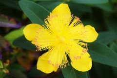 Hypericum Calycinum Flower. A single flower from the Hypericum calycinum plant. Also known as Rose-of-Sharon, Great St. John's Wort, and Jerusalem Star Stock Image