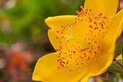 Hypericum calycinum Royalty Free Stock Photos
