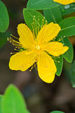 Hypericum close-up Royalty Free Stock Photos