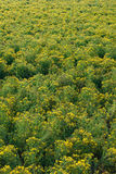 Hypericum field Stock Photos