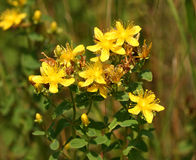 Hypericum flower Royalty Free Stock Images