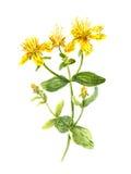 Hypericum flower. John's wort plant. Watercolour Stock Photo