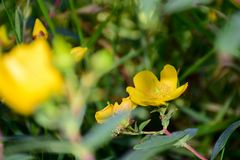 Hypericum flowers,Blossoming flowers. royalty free stock photo