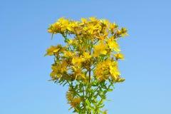 Hypericum flowers Royalty Free Stock Image