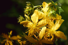Hypericum Stock Photo