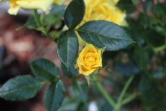 Hypericum St John`s wort budding bloom royalty free stock images