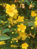 Hypericum in a Gloucester garden. Yellow flowers in a garden Royalty Free Stock Images