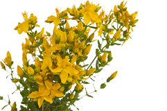 Hypericum isolated Royalty Free Stock Image