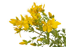 Hypericum isolated Stock Image