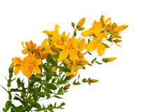 Hypericum isolated Royalty Free Stock Photography