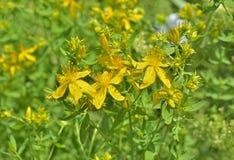 Hypericum medicinal 3 de la hierba Foto de archivo