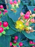 Hypericum Miracle Attraction flowers. The Hypericum Miracle Attraction flowering plant with red berries and bright yellow flowers Stock Images