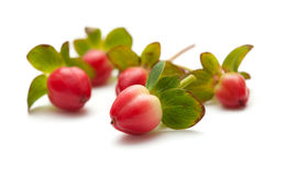Hypericum Stock Images
