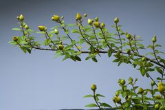 Hypericum patulum Stock Photos