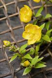 Hypericum patulum Royalty Free Stock Photo