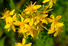 Hypericum perforatum. Top view of herb plant St. John's wort Royalty Free Stock Photography