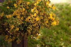 Hypericum perforatum lub St Johns wort, kwiaty Fotografia Royalty Free