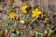 Hypericum perforatum Stock Photos