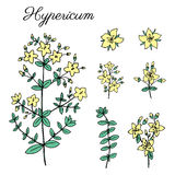 Hypericum, St. John`s wort or Hartheu branch vector sketch hand drawn healing herb  on white, Tutsan herbs. Hypericum, St. John`s wort or Hartheu branch vector Royalty Free Stock Photo