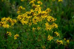 Hypericum wild plant. Closeup in a meadow stock photo