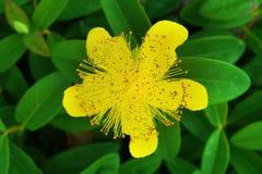 Hypericumcalycinum, nam van close-up van de de installatieclose-up van de sharontuin de gele toe stock fotografie