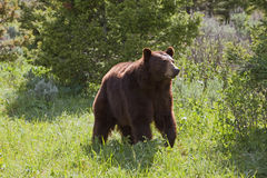 Hyperphagic Black Bear Stock Photo