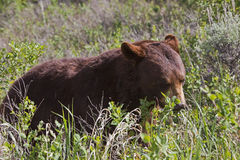 Hyperphagic Black Bear Royalty Free Stock Photography