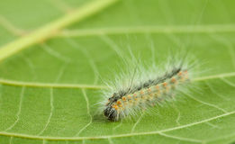 Macro of vermin caterpillar Stock Images