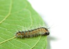 Vermin moth caterpillar Stock Photo
