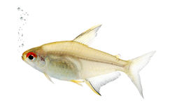 Hyphessobrycon bentosi fish Stock Images