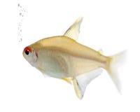 Hyphessobrycon bentosi fish Stock Photo