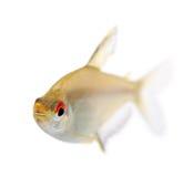 Hyphessobrycon bentosi fish Stock Images