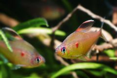 Hyphessobrycon socolofi, bleeding heart tetra, wild freshwater fish from Barcelos, Rio Negro, competing males in natural biotope. Aquarium, nature photo royalty free stock images