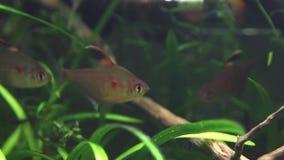 Hyphessobrycon socolofi, bleeding heart tetra, wild freshwater fish from Barcelos, Rio Negro show natural behavior in biotope aqua. Rium stock video