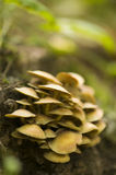 Hypholoma Stock Images