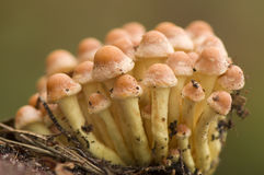 Hypholoma Royalty Free Stock Image