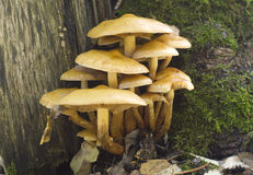 Hypholoma fasciculare Stock Image