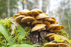 Hypholoma fasciculare Stock Photo
