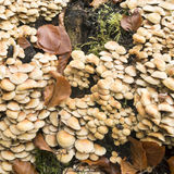 Hypholoma fasciculare mushrooms. Stock Photo
