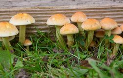 Hypholoma Fasiculare Fungi. Hypholoma Fasciculare Sulphur Tuft Fungi growing on old wood in garden Royalty Free Stock Image