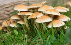 Hypholoma Fasciculare Sulphur Tuft Fungi. Growing on old wood in garden Royalty Free Stock Photography