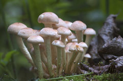 Hypholoma lateritium on a stump Stock Photography