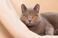 Hypnotic cat Royalty Free Stock Image