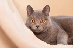 Hypnotic cat. British shorthaired cat with amazing hypnotoic orange eyes Royalty Free Stock Image