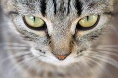 Hypnotic Cat Eyes. Closeup of Hypnotic Cat Eyes Stock Photos