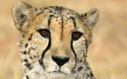 Hypnotic cheetah Royalty Free Stock Image