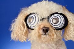 Hypnotic Dog. Mixed breed poodle with hrypnotic glasses Royalty Free Stock Images