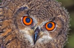 Hypnotic eyes. The hypnotic eyes of an owl Stock Photography