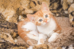 Hypnotic kitten. Hypnotic look from a beautiful ginger kitten Stock Images