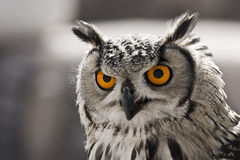 Hypnotic owl. Closeup portrait of an owl. The focus is in his eyes Stock Image